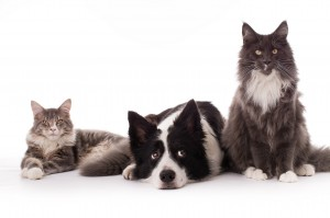 Murphy-Malley-maine-coon-Macey-border-collie-familiehygge_2048x1365 (1)
